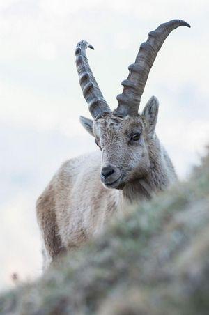 Ibex Safari