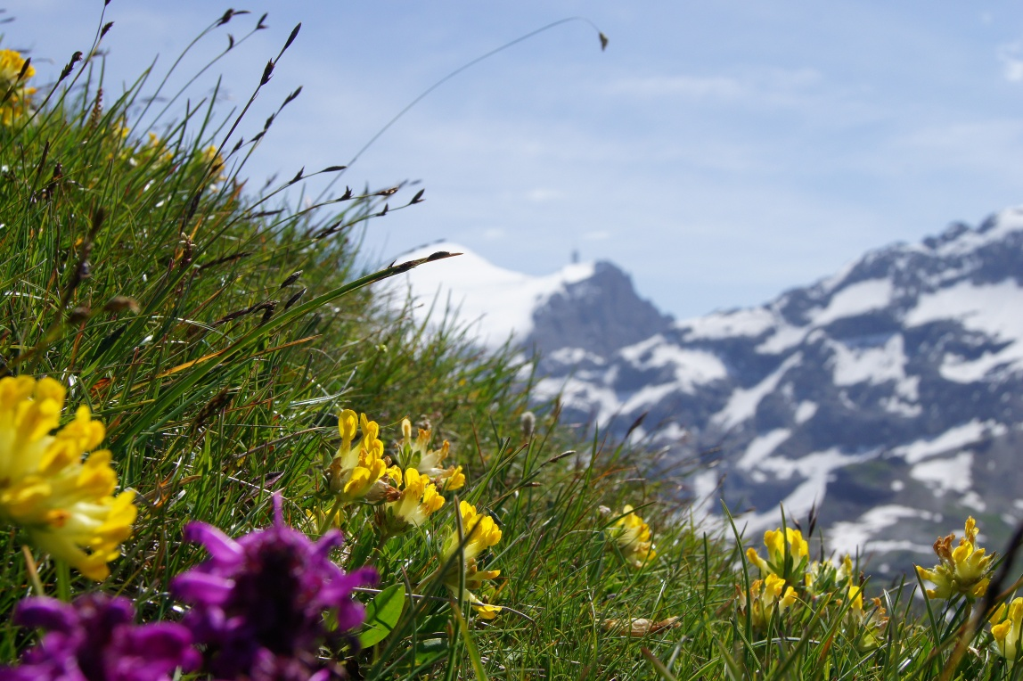 Bergblumenpfad Trübsee - Obertrübsee